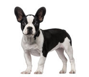 French Bulldog puppy (3 months old) royalty free stock photos