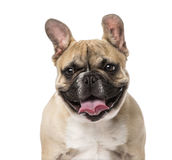 French Bulldog puppy (5 months old) Royalty Free Stock Photo