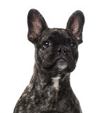 French Bulldog puppy (5 months old) Stock Images