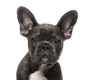French Bulldog puppy (5 months old) Royalty Free Stock Photography