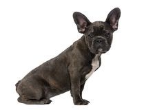 French Bulldog puppy (5 months old) Royalty Free Stock Photos