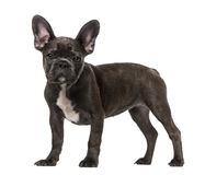 French Bulldog puppy (5 months old) Stock Photography