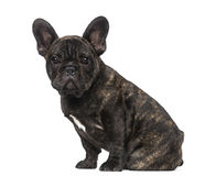 French Bulldog puppy (3 months old) Royalty Free Stock Photography