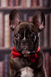 French bulldog puppy with neck bow Stock Photo
