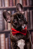 French bulldog puppy with neck bow Stock Photography