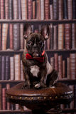 French bulldog puppy with neck bow Royalty Free Stock Image