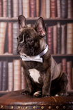 French bulldog puppy with neck bow Royalty Free Stock Images