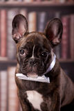 French bulldog puppy with neck bow Royalty Free Stock Photo