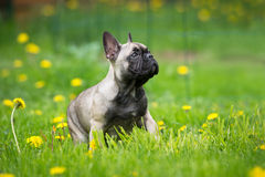 French bulldog puppy outdoors Stock Photo
