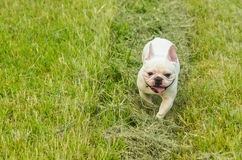 French bulldog puppy outdoors Stock Photos