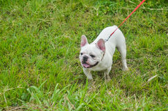 French bulldog puppy outdoors Stock Photography