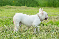 French bulldog puppy outdoors Royalty Free Stock Image