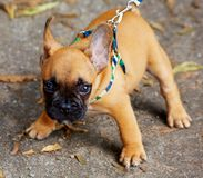 French bulldog puppy Stock Photos