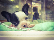 French bulldog puppy in pet shop window. Sad French Bulldog puppy, with one dark eye and one blue eye, in pet shop window. Smart phone image with retro style Royalty Free Stock Photos