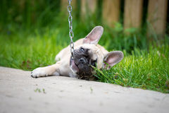 French bulldog puppy playing with a chain Royalty Free Stock Images
