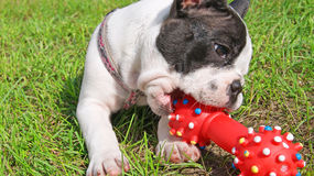 French bulldog puppy playing dog toy Stock Photo