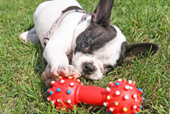 French bulldog puppy playing dog toy. In green grass Royalty Free Stock Photography