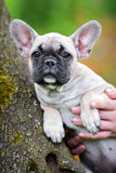 French bulldog puppy portrait Stock Photo
