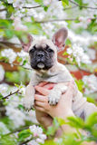 French bulldog puppy portrait Royalty Free Stock Photos