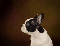 French Bulldog puppy. Portrait at brown background Stock Photo