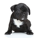 French bulldog puppy portrait Royalty Free Stock Images