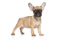 French bulldog puppy portrait Royalty Free Stock Image