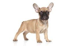 French bulldog puppy portrait Royalty Free Stock Image