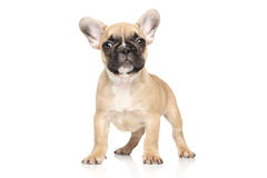 French bulldog puppy portrait Royalty Free Stock Photography