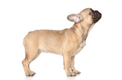 French Bulldog puppy posing Royalty Free Stock Photography