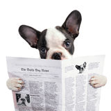 French bulldog puppy reading newspaper Stock Photos