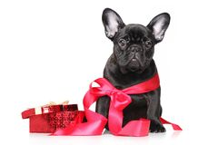 French bulldog puppy in red ribbon with bow Royalty Free Stock Photo