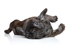 French bulldog puppy resting. On white background Stock Images
