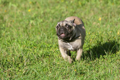 French Bulldog puppy running Stock Image