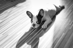 French bulldog puppy with the shadow Royalty Free Stock Photo