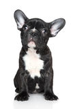 French bulldog puppy sits on a white background Royalty Free Stock Photo