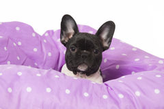 French bulldog puppy Royalty Free Stock Photos