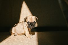 French bulldog puppy sitting on the couch. stock photos