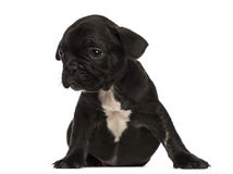 French bulldog puppy sitting, looking away, isolated Stock Image