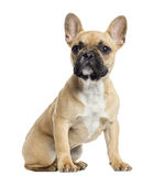 French Bulldog puppy sitting, looking up, isolated Stock Image