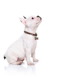French bulldog puppy sitting and looking up to something Royalty Free Stock Photo