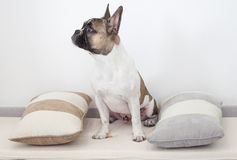 French bulldog puppy sitting between the pillows.  Royalty Free Stock Photography