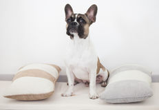 French bulldog puppy, sitting between the pillows. Gray white brown Stock Image