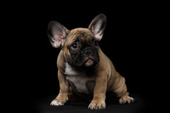 French Bulldog Puppy Sitting and Pity Looking , Front view,  Isolated Royalty Free Stock Image
