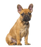 French Bulldog puppy sitting and staring, 4 months old. Isolated on white Royalty Free Stock Photo