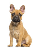 French Bulldog puppy sitting and staring, 4 months old. Isolated on white Royalty Free Stock Photos