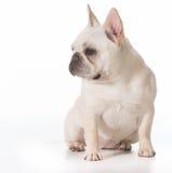 French bulldog Stock Photography