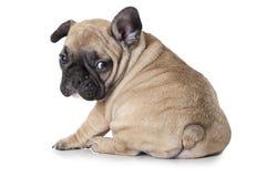 French bulldog puppy sitting on white background Royalty Free Stock Photo