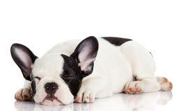 French bulldog puppy sleeping. Stock Image