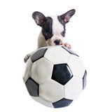 French bulldog puppy with soccer ball Royalty Free Stock Photography