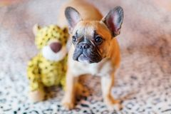 French Bulldog puppy with a soft toy. Portrait of a French Bulldog puppy with a soft toy stock photos